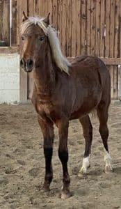Rocky Mountain Horse poulain