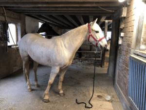 A vendre joli hongre Quarter Horse